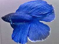 Betta splendens male DoubleTail blue thumbnail