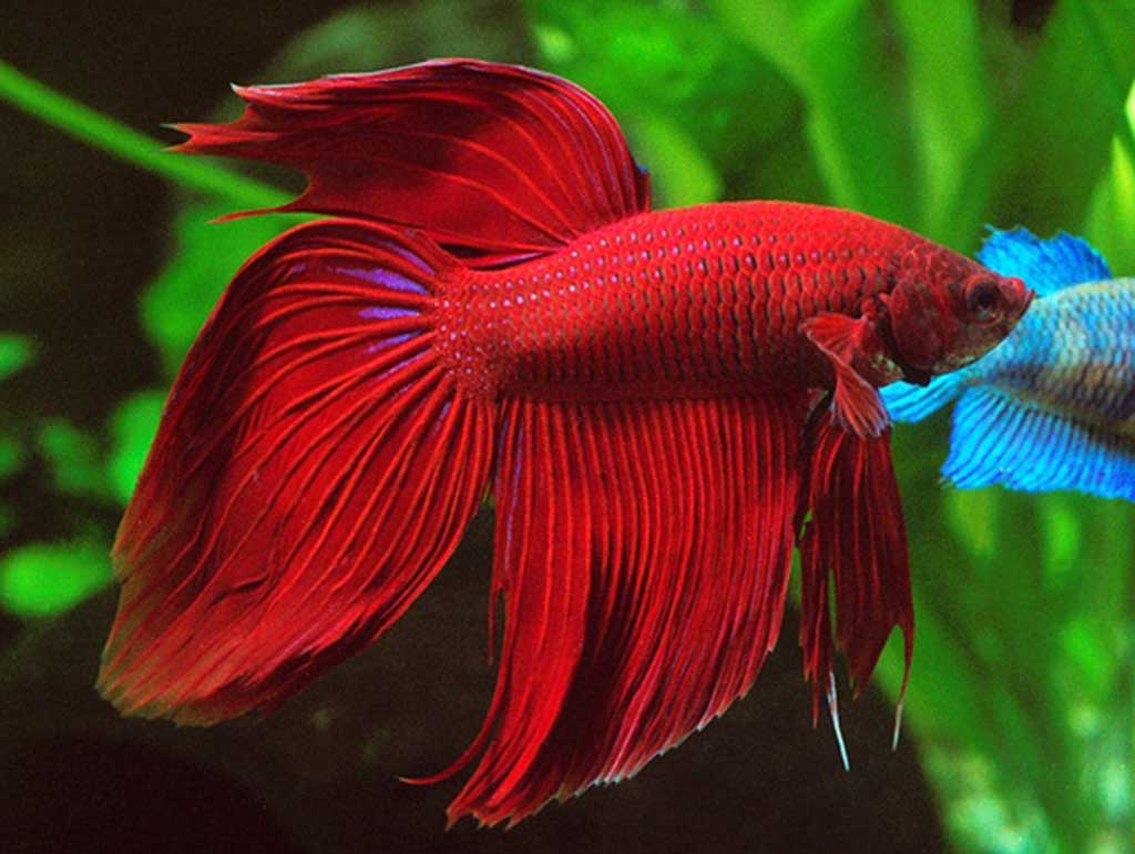 Betta splendens male DoubleTail red