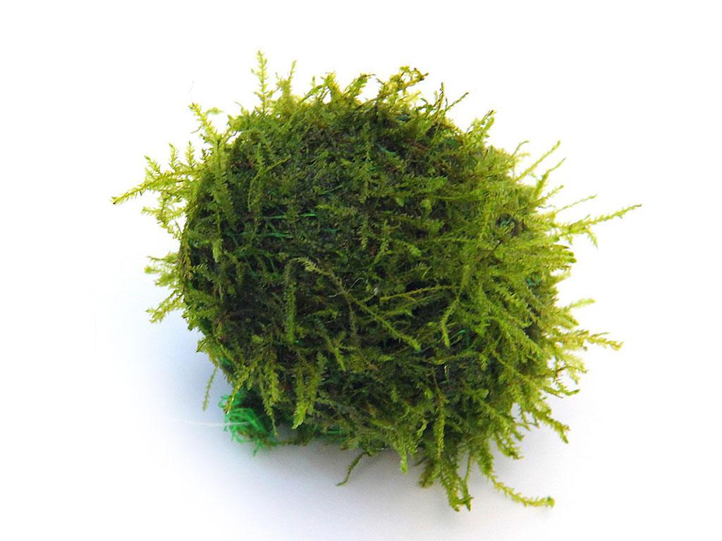 Decor plutitor cu Java moss Biosphere-Ball