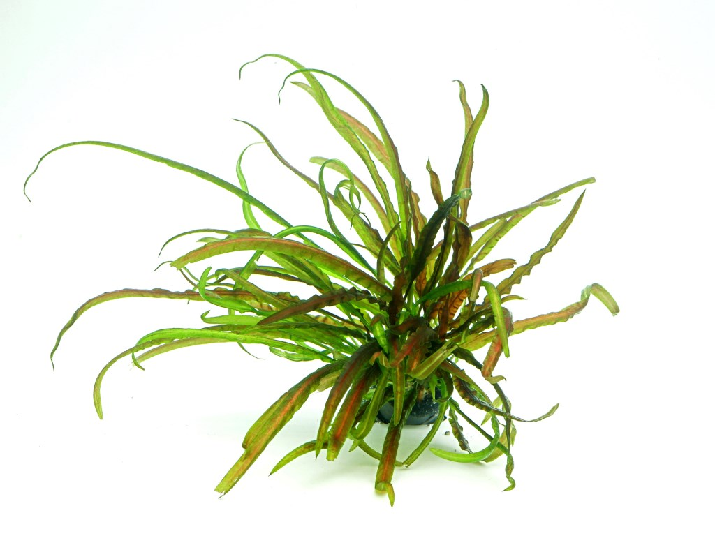 Cryptocoryne crispatula In-Vitro