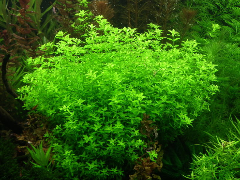 Hemianthus micranthemoides - Nevertebrate.ro