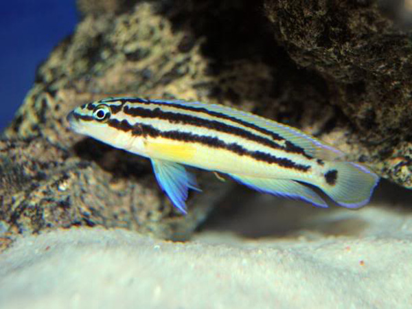 Julidochromis ornatus blue fin
