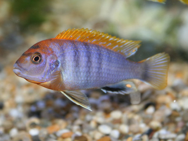 Labidochromis hongi orange