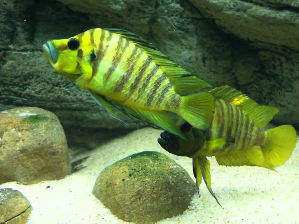 Lamprologus comp. yellow chaitika