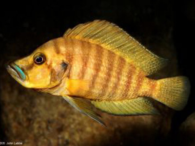 Lamprologus comp. mabilibili orange