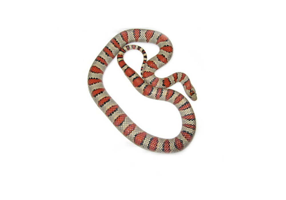 Lampropeltis mexicana Greeri