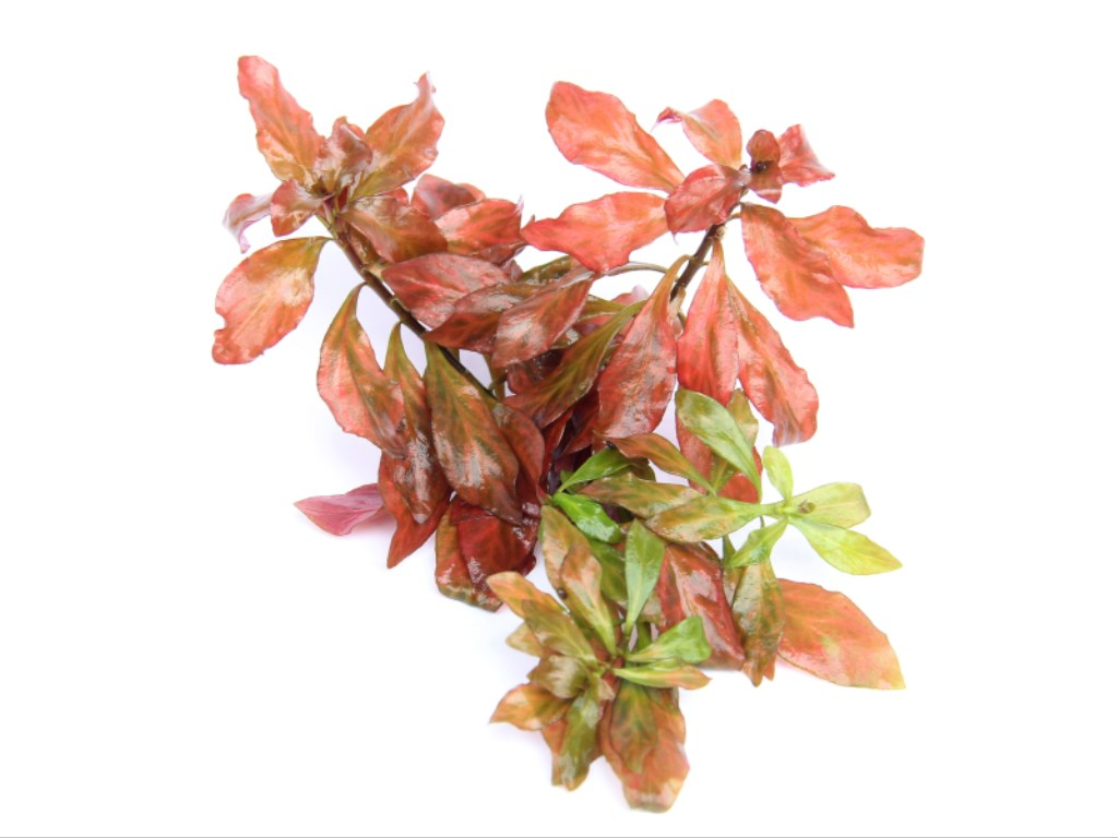 Ludwigia spec. Dark Orange