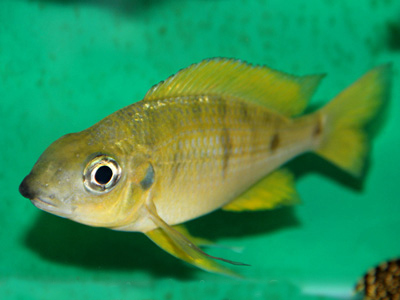 Ophthalmotilapia nasuta Kipili Gold