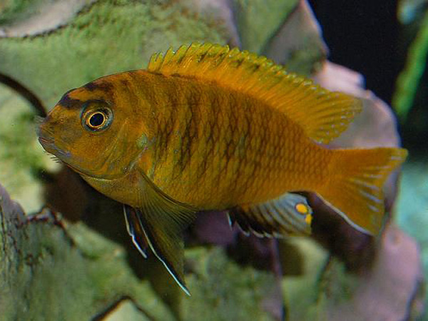 Pseudotropheops tropheops red fin XL
