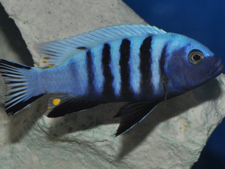 Pseudotropheus kingsizei blue gold