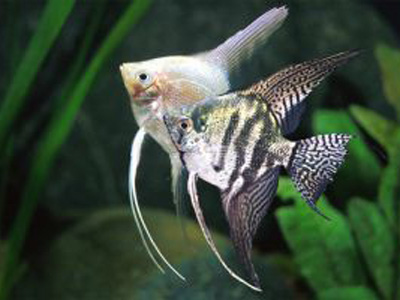 Pterophyllum scalare mix