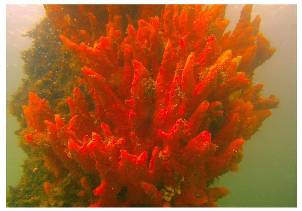 Red Ridge Sponge (Porifera sp.)