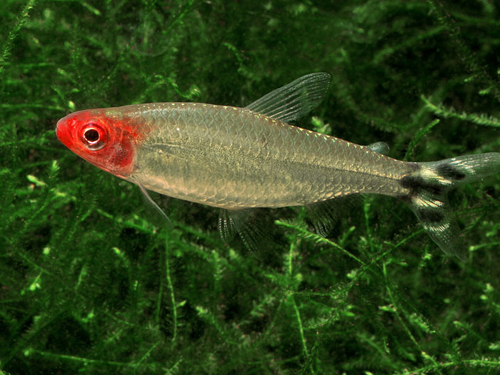 Red-nose Tetra