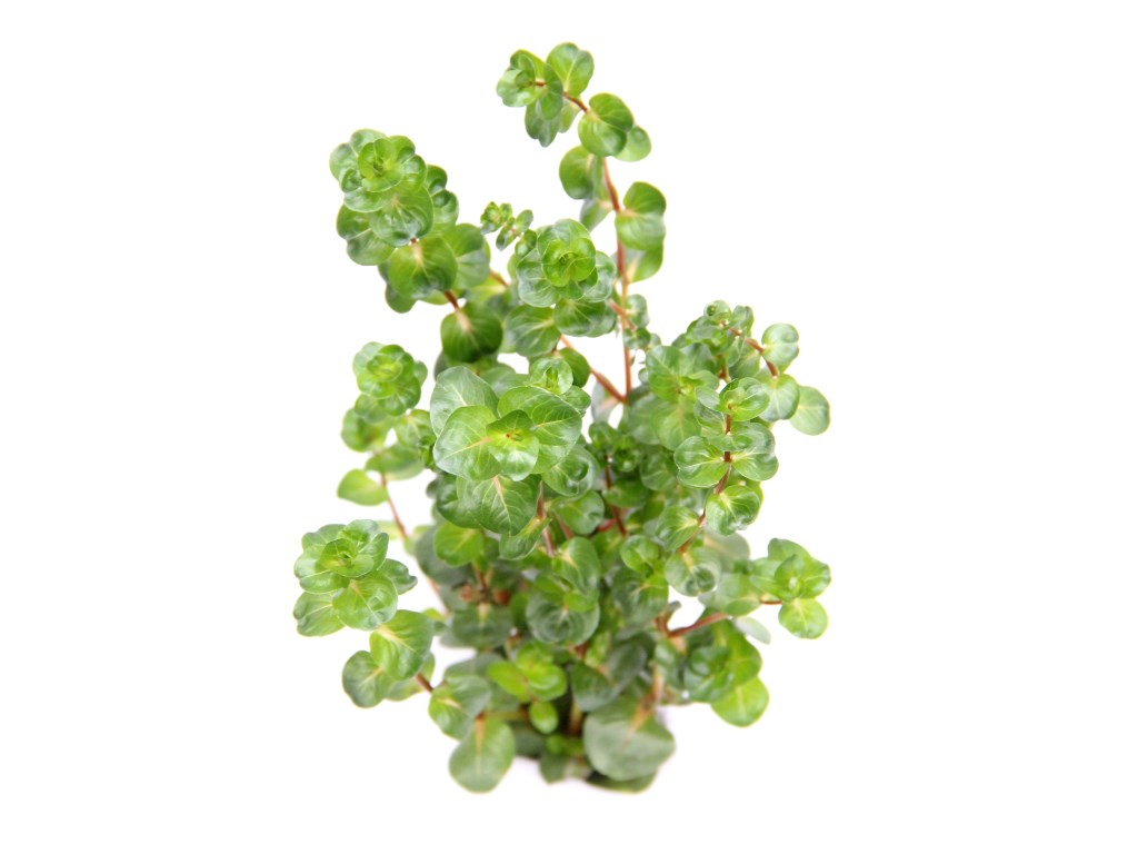 Rotala macrandra Narrow Red