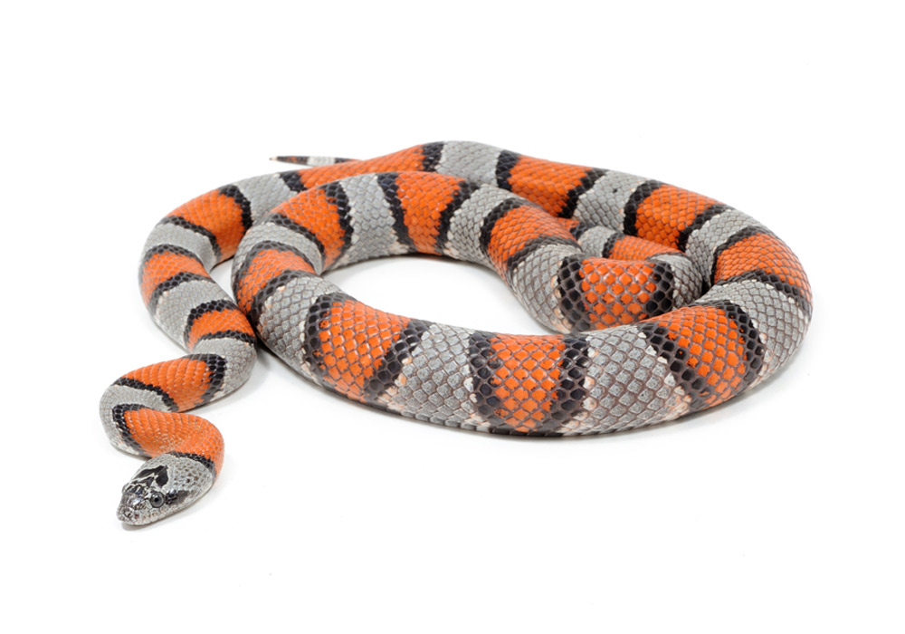Sarpe Regal Lampropeltis alterna