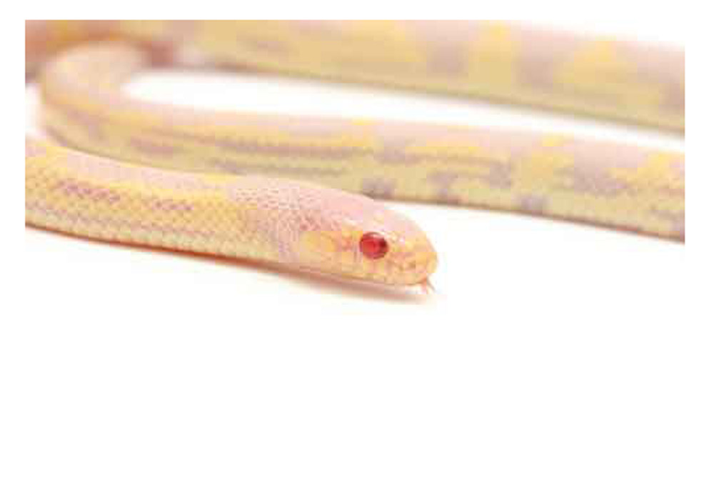 Sarpe Regal de California Albino aberrant