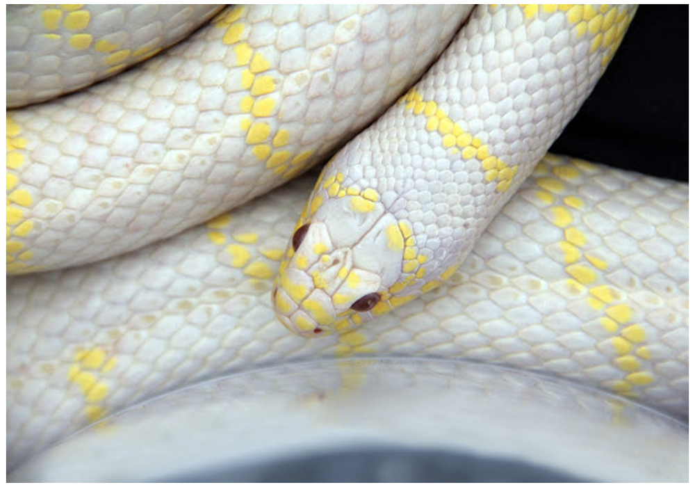 Sarpe Regal de California Albino ?High Yellow?
