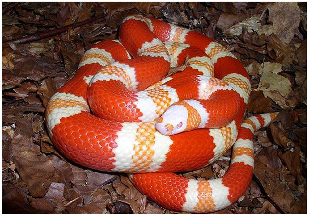 Sarpe de Lapte Honduras albino orange