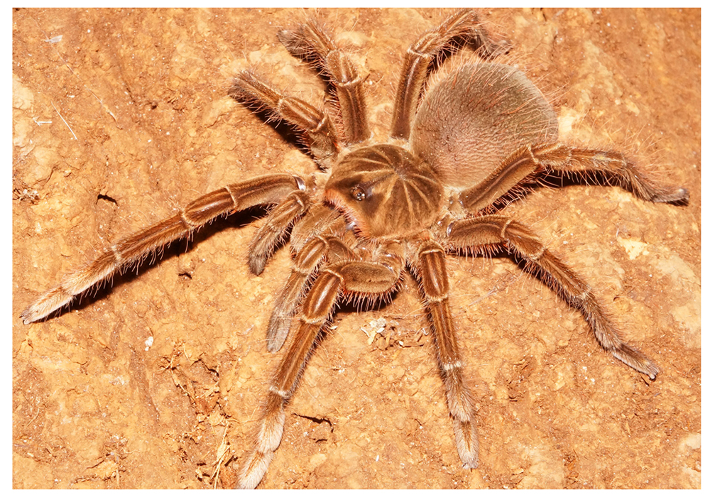 Tarantula Theraphosa stirmi