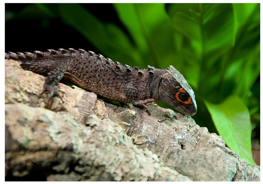 Soparla crocodil Red Eye