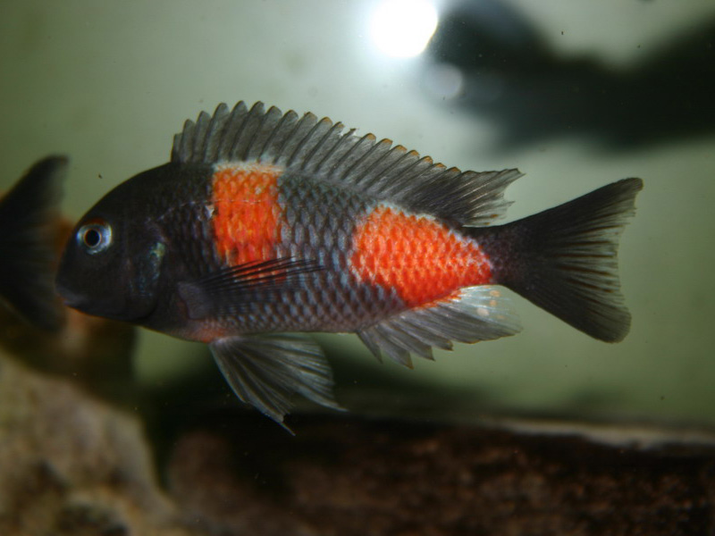 Tropheus moorii bulu - point