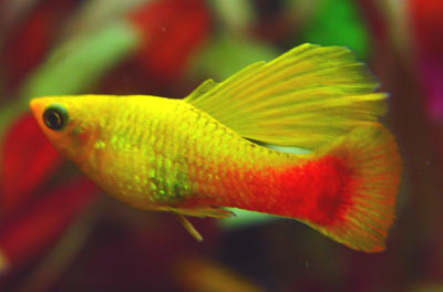 Xiphophorus variatus orange gold simpson