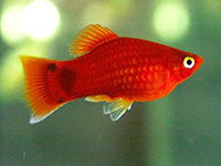Xiphophorus maculatus mickey mouse red simpson
