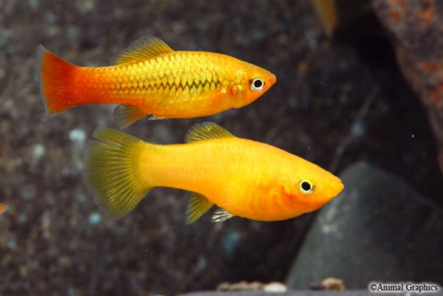 Xiphophorus variatus orange gold