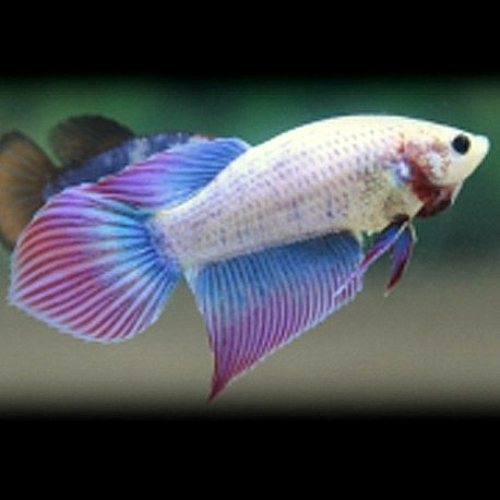 Betta splendens female super delta tail