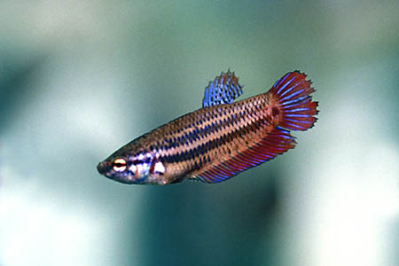 Betta Splendens Femela
