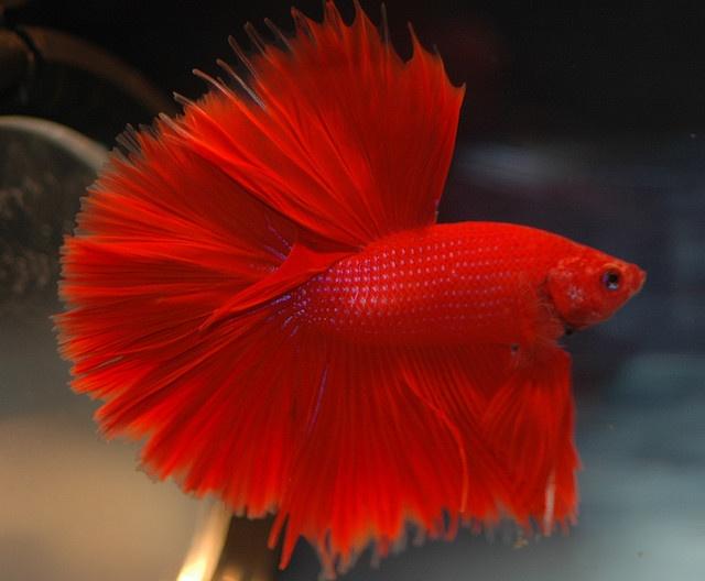 betta splendens male halfmoon red nevertebrate ro
