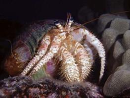Hermit crab Dardanus thumbnail