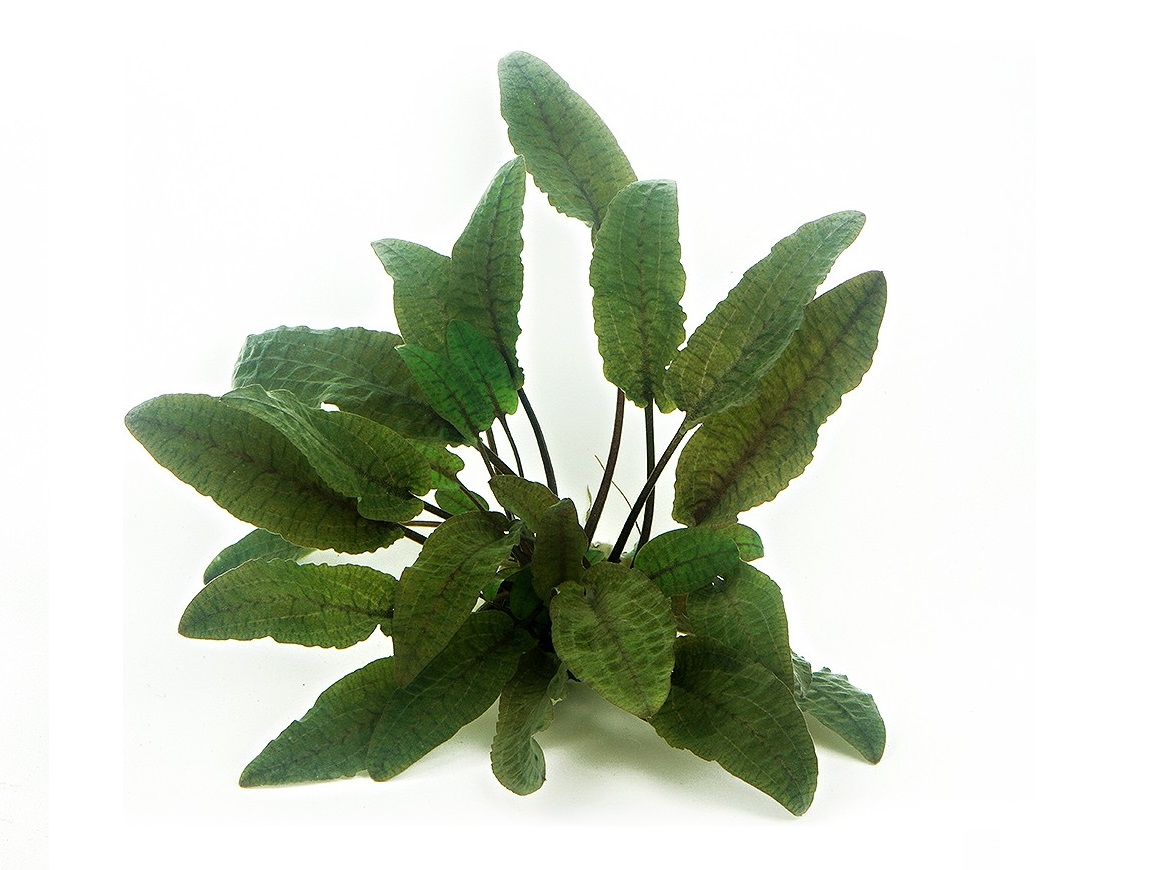 Cryptocoryne wendti brown