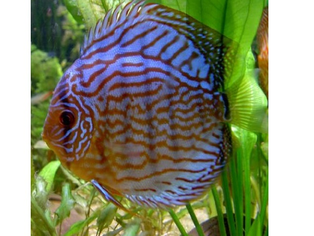 Discus royal blue