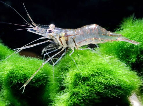 Macrobrachium (glass shrimp)