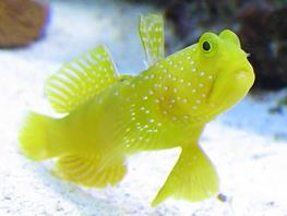 Yellow watchman goby (Cryptocentrus cinctus) thumbnail