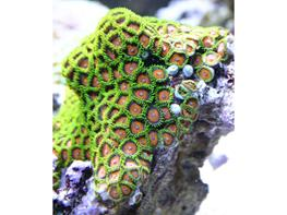 Zoanthus sp. Green thumbnail