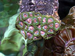 Zoanthus sp. Pink thumbnail