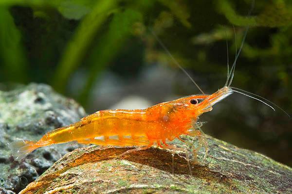 Cardinia sp. Orange shrimp thumbnail