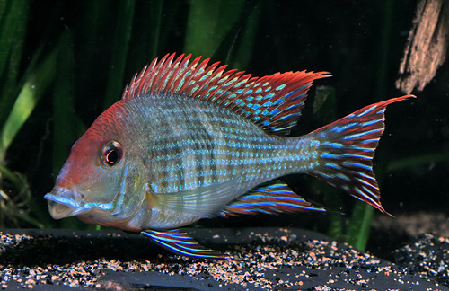 Geophagus brasiliensis sp. red