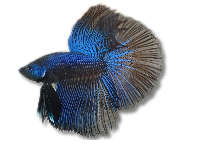 Betta Splendens blue