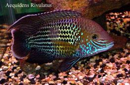 Aequidens rivulatus thumbnail