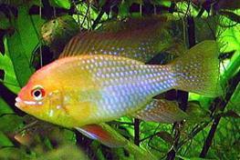 Papiliochromis ramirezi gold thumbnail