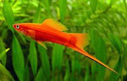Xiphophorus helleri ada red thumbnail
