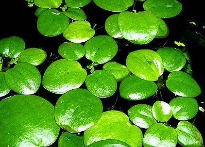 http://www.nevertebrate.ro/images/plante/limnobium_laevigatum.jpg