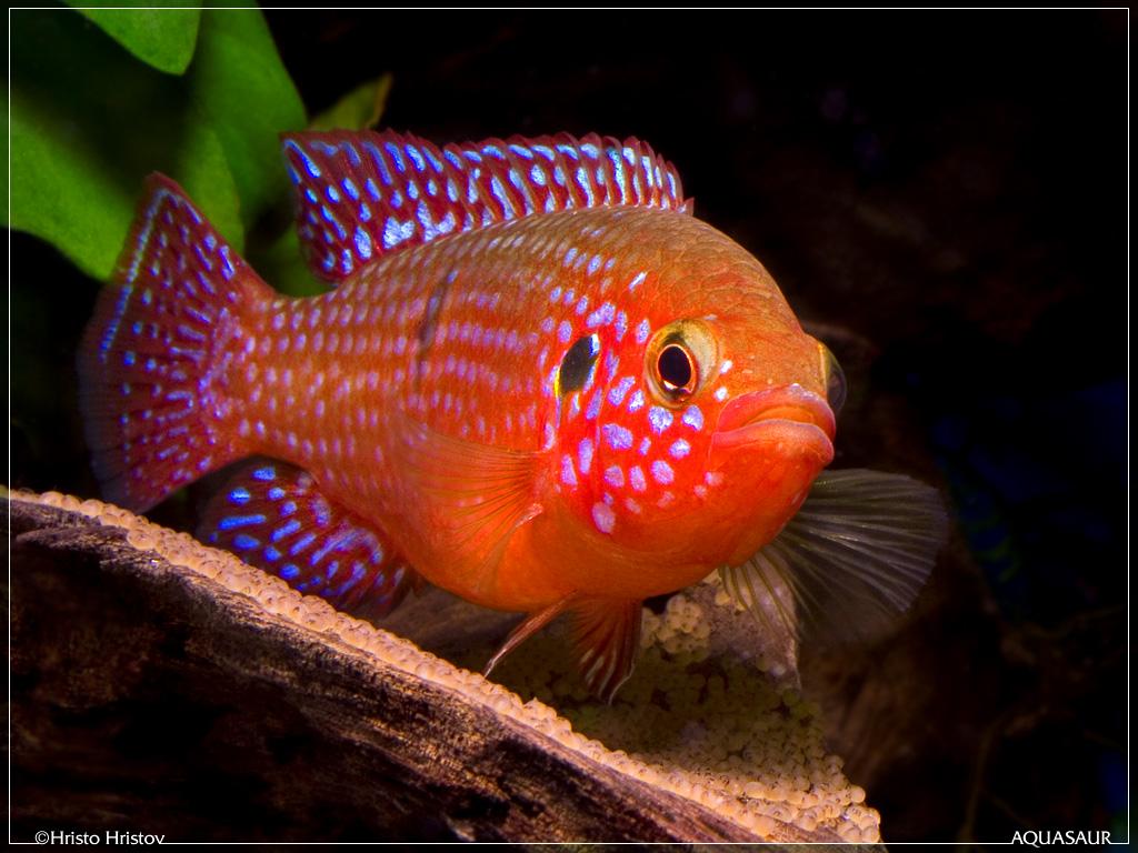 ... de acvariu Alte cichlide Hemichromis lifalili Blood-Red Jewel Cichlid