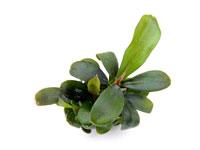 Bucephalandra Brownie thumbnail