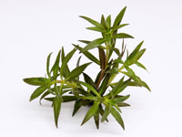 Limnophila aromatica thumbnail