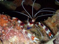Stenopus hispidus thumbnail