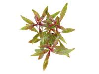 Ludwigia glandulosa thumbnail